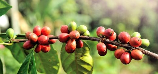 growing coffee arabica on pot