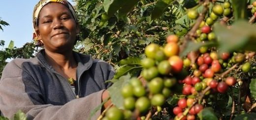 kenyan coffee brands beans prices