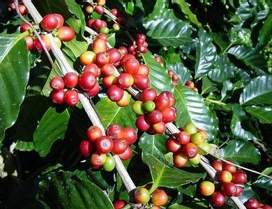Coffea canephora plant robusta coffee all you need to know