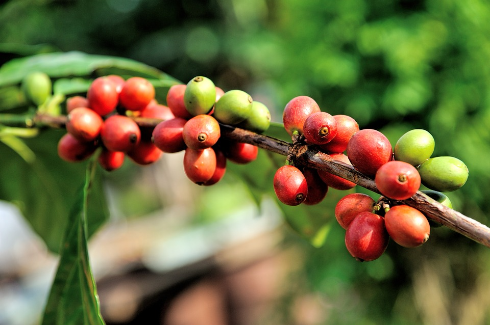 how to grow a coffee cherry tree